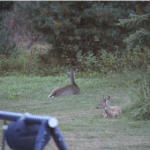 deer_backyard