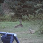 deer_backyard