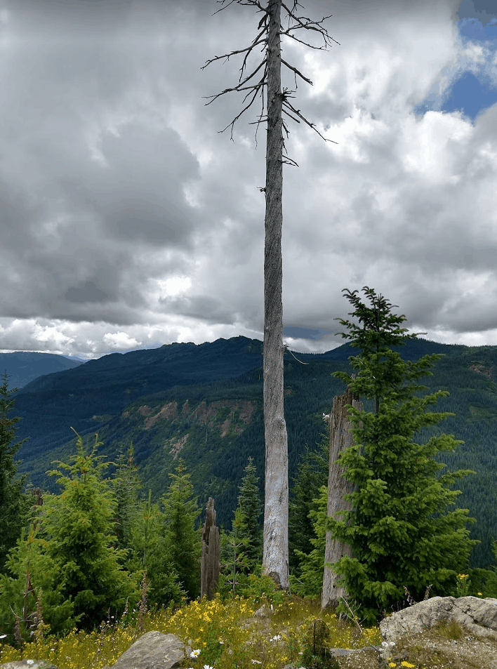 Tree killed by heat from the volcano blast
